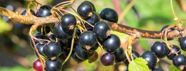 7 секретов небывалого урожая смородины