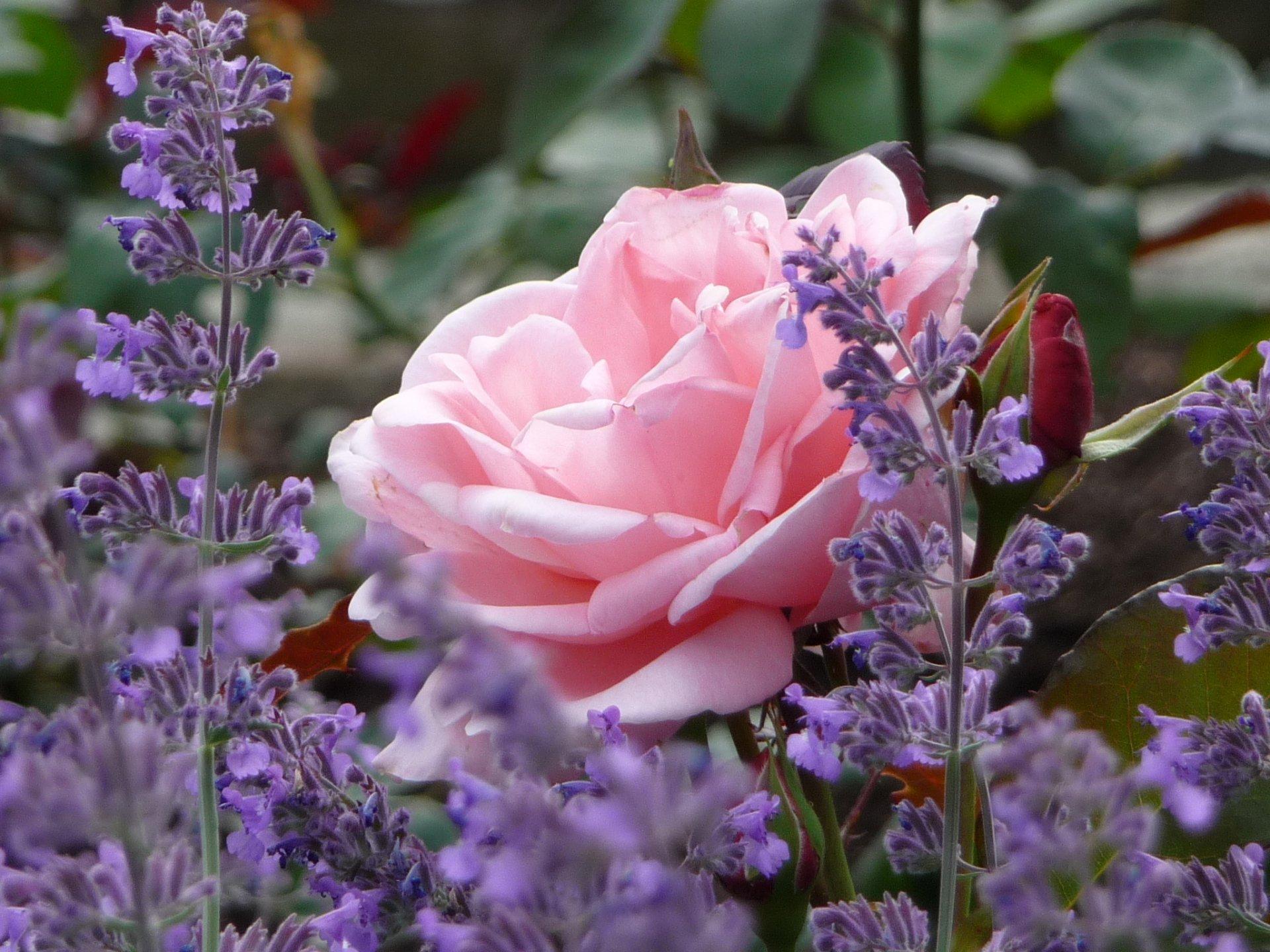 Ароматная лаванда и розы – классика садового дизайна