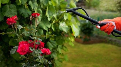 Чем обработать розы от вредителей