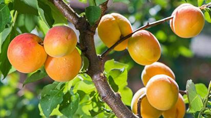 Чем подкормить абрикос после цветения