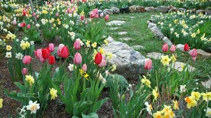 Что посадить с нарциссами и тюльпанами. Выбор лучших компаньонов