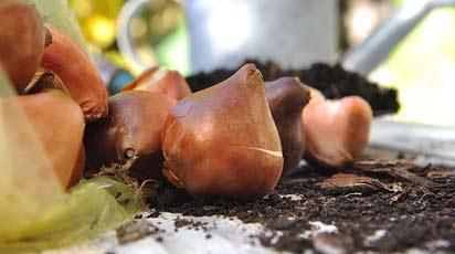 Как обработать луковицы тюльпанов