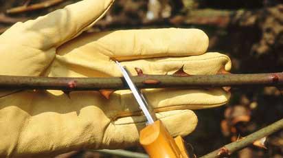 Как обрезать розы после цветения на зиму