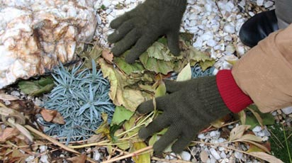 Как укрыть лаванду на зиму