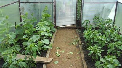 Какие сидераты сажать в теплицу для томатов