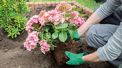 Когда лучше пересадить гортензию - весной или осенью