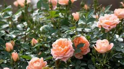 Удобряют ли розы во время цветения