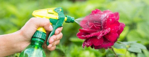 Что делать, если появилась мучнистая роса на розах: способы борьбы и профилактики
