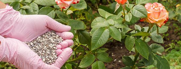 Что делать с розами после цветения: обрезка, подкормка, уход