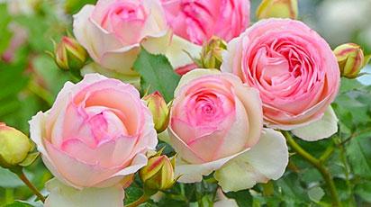 Пышноцветущие розы: подборка лучших сортов