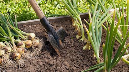 7 главных правил для получения хорошего урожая лука