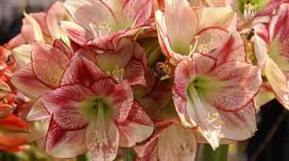 Амариллис: обзор лучших сортов и советы по выращиванию цветка дома