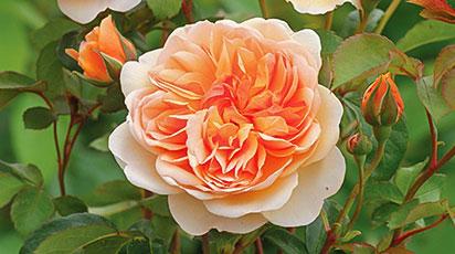 Бесшипные розы. Обзор сортов для бывалых дачников и новичков