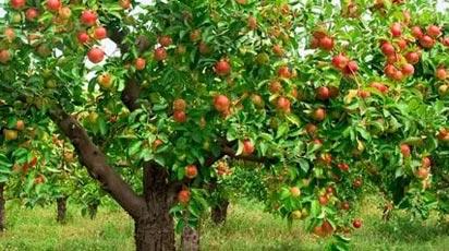 Болезни и вредители яблони: признаки, фото, варианты лечения