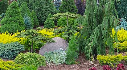 Хвойные растения в дизайне вашего участка