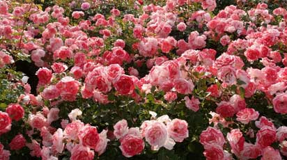 Как и чем подкормить розы весной, чтобы цвели пышно