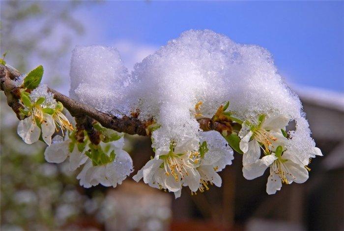 Как защитить сад от возвратных заморозков?