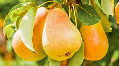Какие плодовые деревья и кустарники лучше сажать осенью и как это сделать правильно