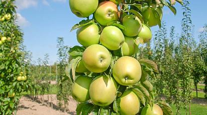 Колоновидные яблони и обычные: в чем разница