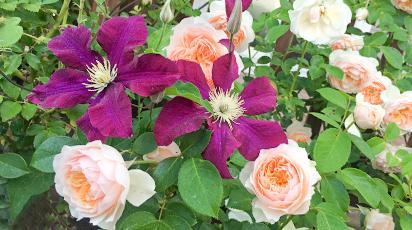 Подборка растений, с которыми будет комфортно розе