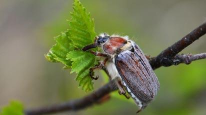 Майский жук – вредитель сада и огорода: эффективные методы борьбы