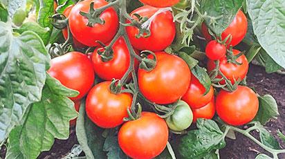 Непасынкующиеся томаты: лучшие сорта с описаниями
