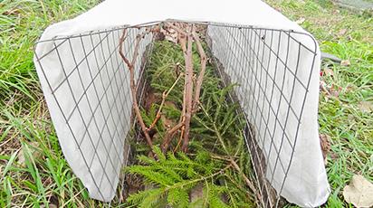 Осенняя обрезка и укрытие винограда на зиму - залог больших урожаев