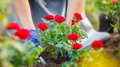 Почему осень — лучшее время для посадки роз
