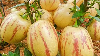 Пепино: выращиваем дынное дерево из семян