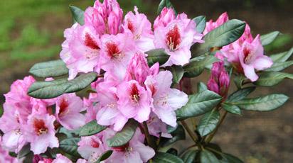 Рододендрон: посадка, выращивание и уход
