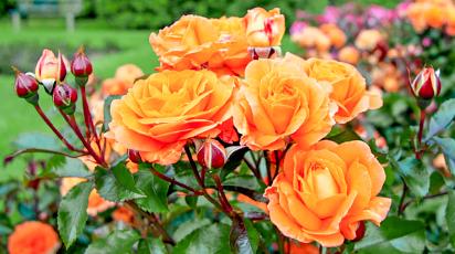 Подготовка роз к зиме – 13 важных шагов