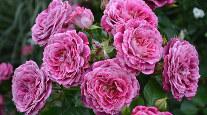 Розы флорибунда теперь можно купить в Беларуси в магазине «Беккер»