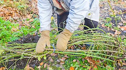 Розы и морозы: как сохранить розарий в холодные зимы