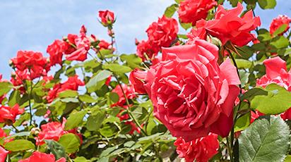 Как пересадить розу осенью на другое место – бережная инструкция от опытных садоводов