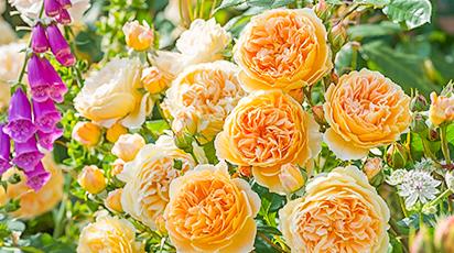 Секреты размножения розы: черенками и семенами