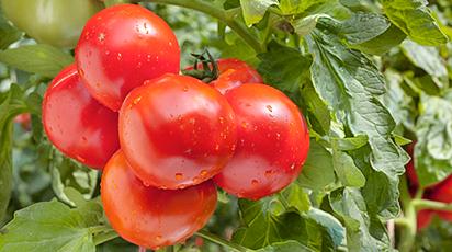 Собираем 10 кг помидоров с куста в августе