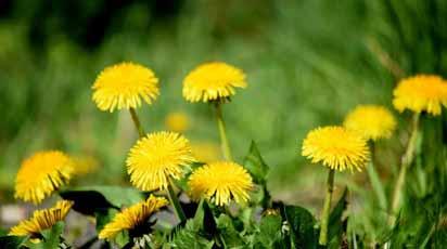 Во саду ли в огороде: сорняки или съедобные растения под ногами?