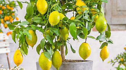 Выращиваем лимон дома - запас витаминов на весь год