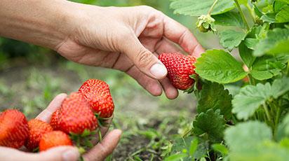 Как вырастить из семян ремонтантную клубнику