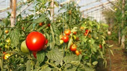 Выращивание томатов в теплице: секреты богатых урожаев