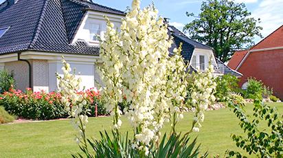 Выращивание юкки в саду - от посадки до цветения