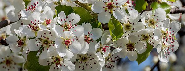 Как правильно ухаживать за грушами весной