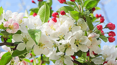 Какая подкормка яблонь весной лучше: советы агронома