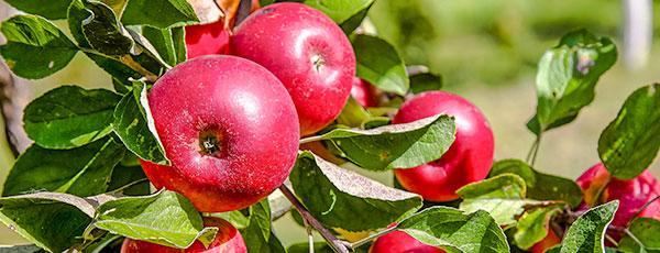 Какую яблоню посадить на даче и не прогадать с урожаем