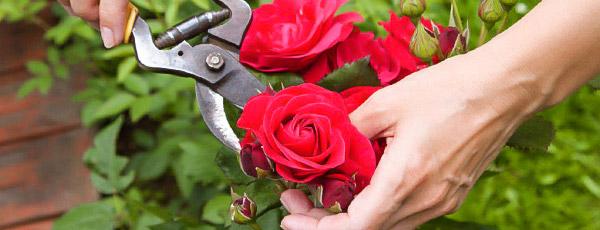 Календарь ухода за розами по месяцам