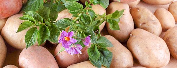Картофель великолепный – посадка и выращивание