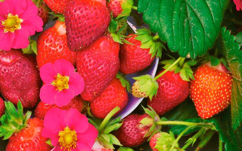Клубника с розовыми цветами:подборка лучших сортов