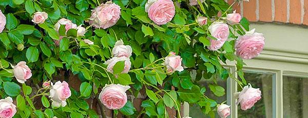 Когда лучше сажать розы весной: сроки, правила, советы