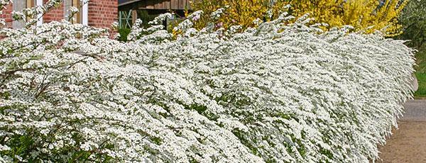 Неприхотливые кустарники на даче: самые простые в уходе виды