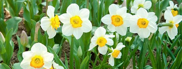 Нужно ли выкапывать тюльпаны, нарциссы и крокусы после цветения